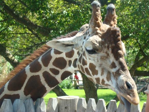 giraffe detroit zoo